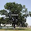 300-летний дуб, с. Буденець
