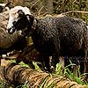 Вигін овець на полонину