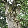 Віковий дуб (1000-річний), один з найстаріших в Україні, с. Верин