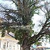 Masaryk's ash tree