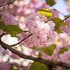 The bloom of cherry blossoms